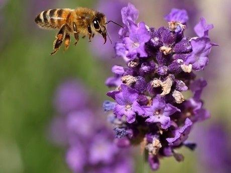 Bijenziekte vuilbroed