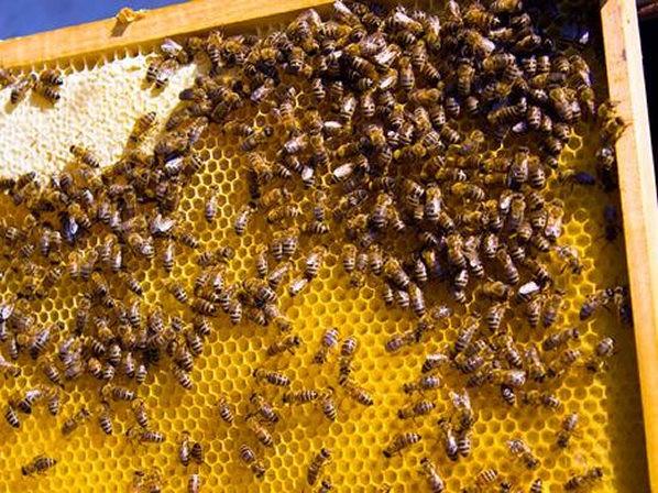 Bijen op een raat